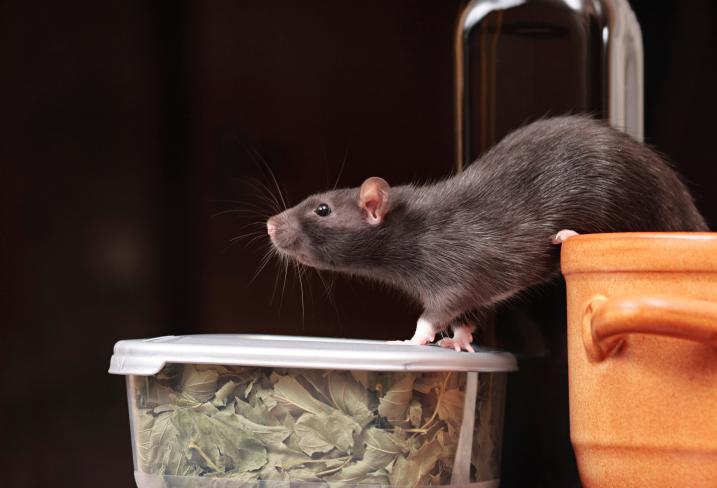 Крысы - преносчики опасных инфекционных заболеваний