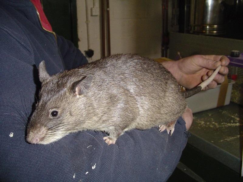 При хорошей кормовой базе крысы достигают больших размеров