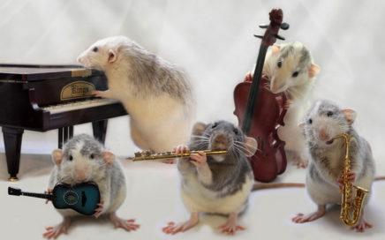 Интересное о крысах