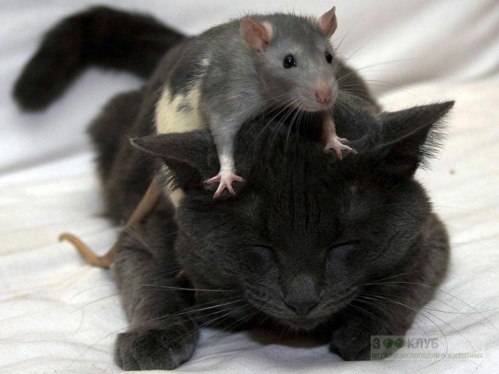 Особенности крыс