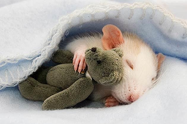Интересные факты из жизни крыс