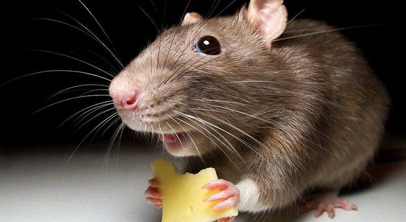 Сыр - лучшая приманка для домовой мыши в Екатеринбурге