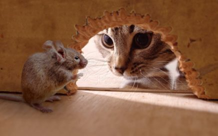 У кошек врождённый талант ловить мышей
