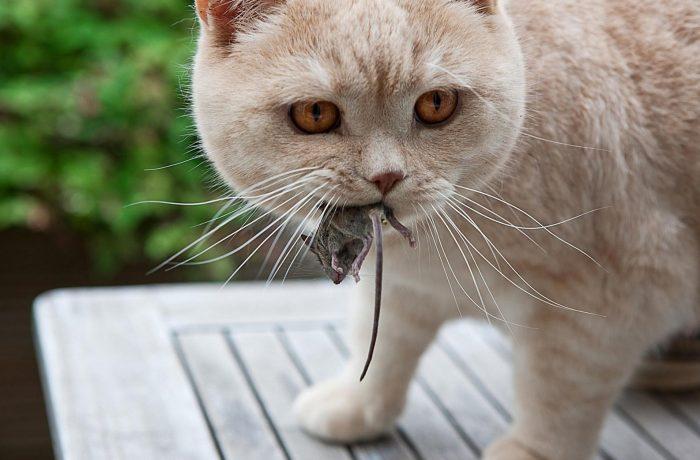 Кошка обязательно показывает хозяину пойманную мышь