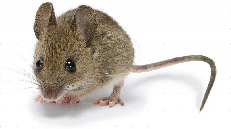 Мышь домовая - Mus Musculus