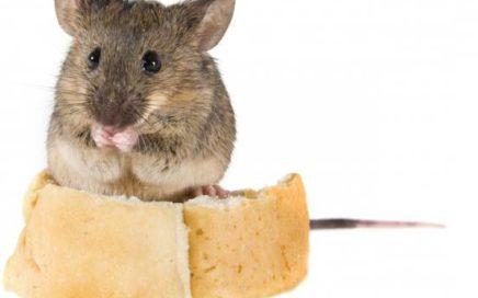 Мыши тоже обладают интеллектом и быстро обучаются