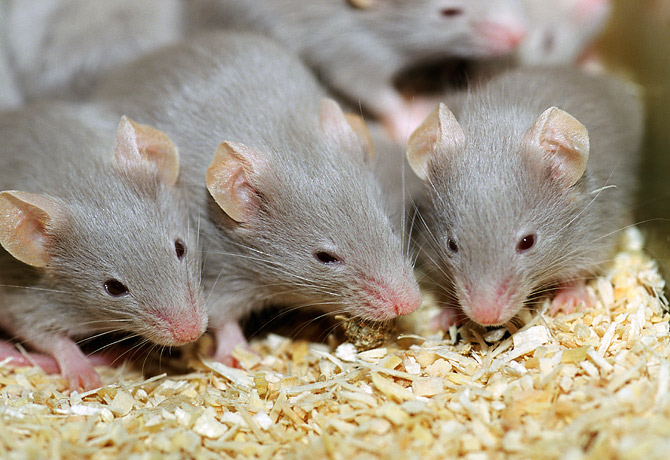 Мыши на крупе