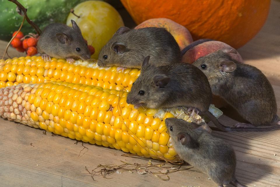 Психология зоосоциума мышей