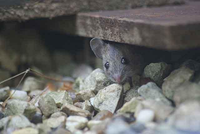 Мышь домовая - ненужный квартирант