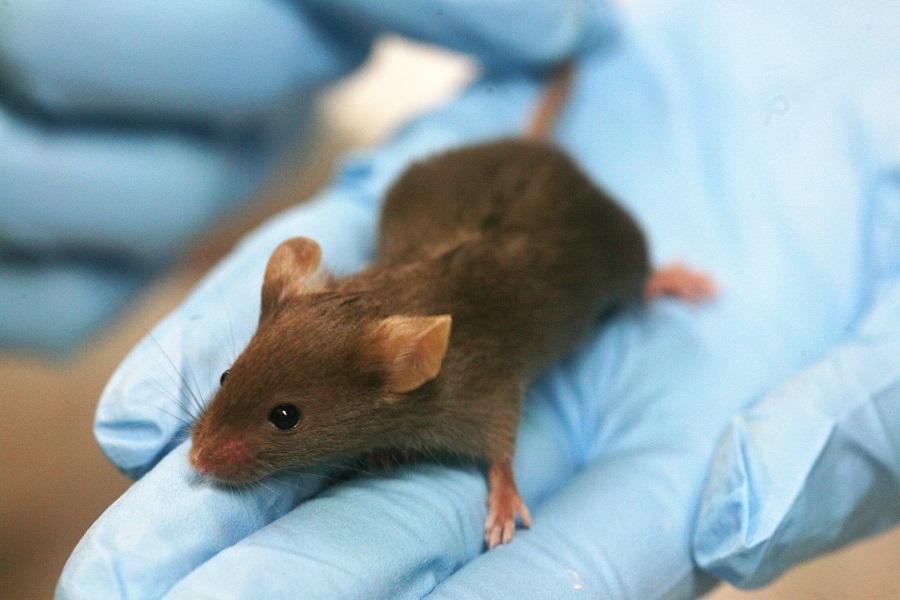 Лабораторные мыши на службе человека