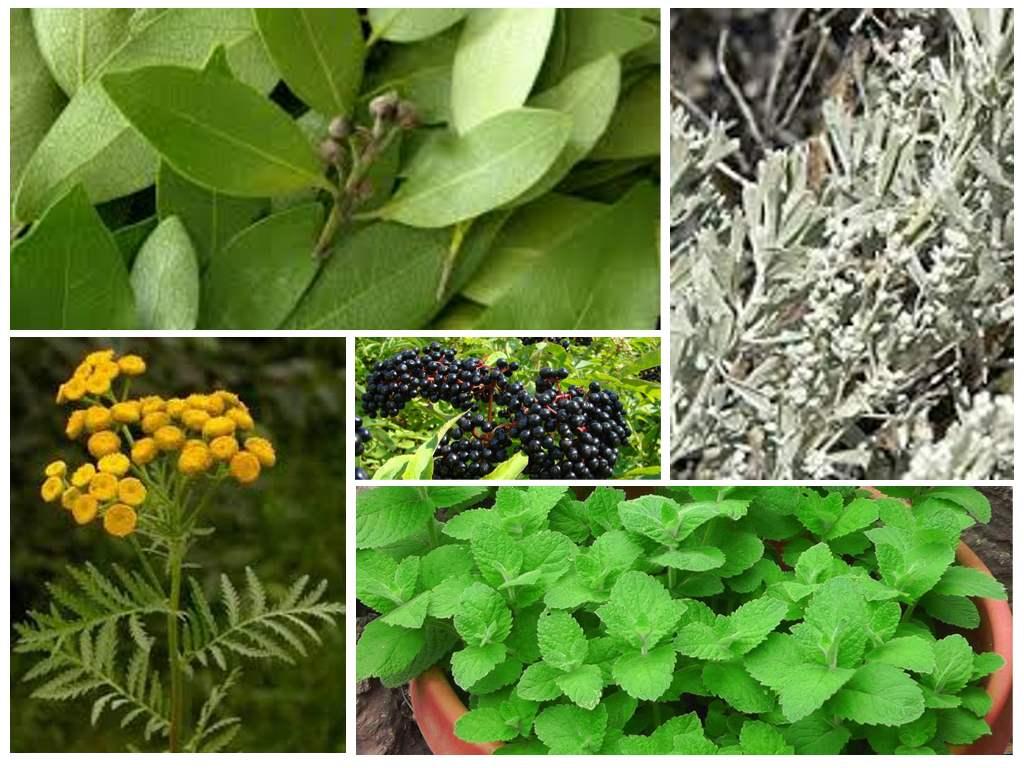 Запахи, отпугивающие тараканов: анис, хвоя, лавровый лист, полынь, пижма, бузина, мята