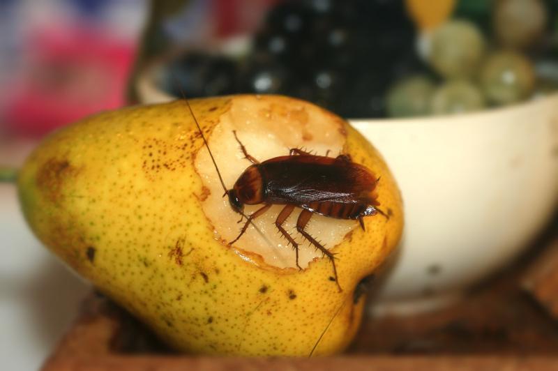 Природные источники углеводов - идеальное меню для тараканов