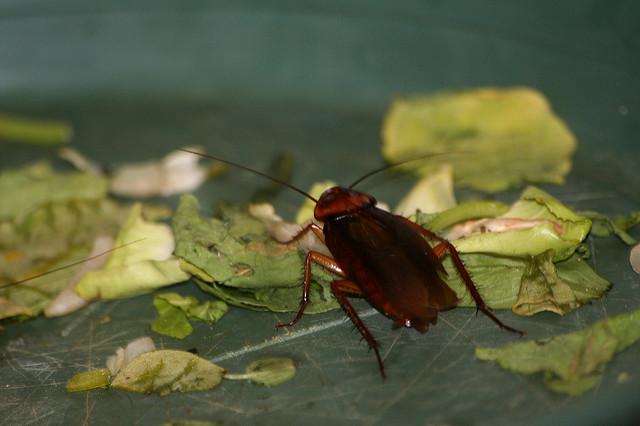 Тараканы едят всё то же самое, что и люди
