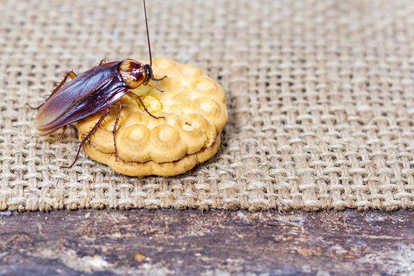 Главные компоненты пищи для домашних тараканов - белки и углеводы