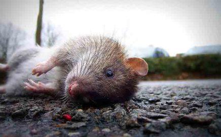 Хорошая крыса - это мёртвая крыса