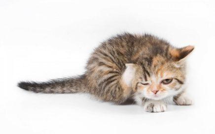 Могут ли блохи животных перейти на человека?