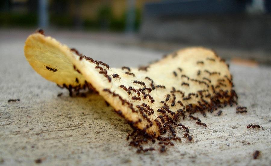 Муравьи с удовольствием съедят всё, что останется на столе