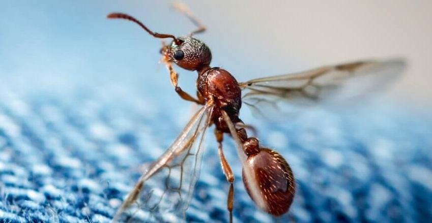 При появлении летающих муравьёв обращайтесь к специалистам