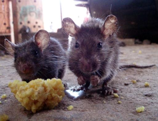 вывести мышей Екатеринбург